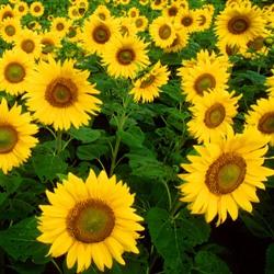 Sunflower field blog